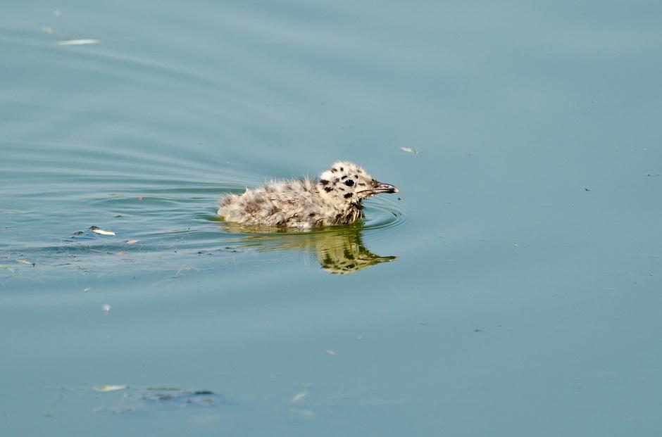 Серебристая чайка в водоемах Зеленограда