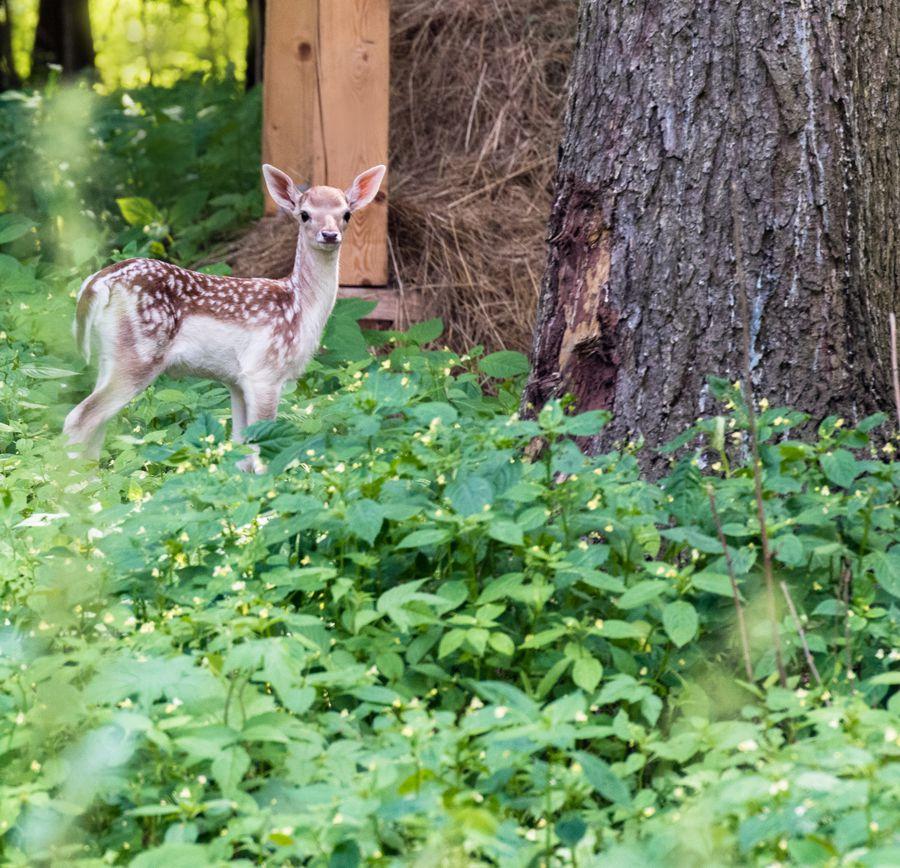 Появились фотографии юного олененка «Дома лани»